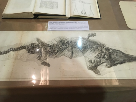 Engraving of a 'Proteo-saurus' [Ichthyosaur] which was found by Mary Anning in Lyme Regis in 1818